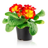 Flowerpot with red flower isolated. On white background with clipping path included stock image