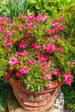 Flowerpot with red flowers blooming in a garden. In the summer sunlight royalty free stock images