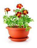 Flowerpot with red flowers isolated Stock Photo