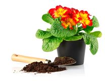 Flowerpot with red flowers and soil in shovel Stock Images