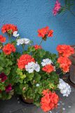 Flowerpot with red and white geranium plants. In front of blue house front stock photos