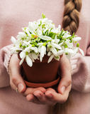 Flowerpot with snowdrops by hands Stock Photo