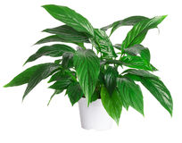 Flowerpot Royalty Free Stock Photo