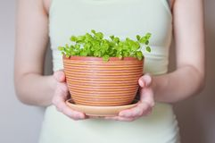 Flowerpot with sprouts Royalty Free Stock Images