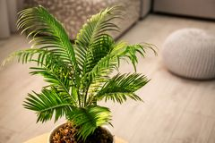Flowerpot with tropical palm. In home interior royalty free stock photography