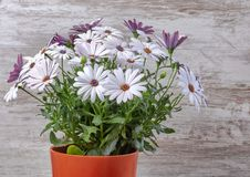 Flowerpot with violet daisies wooden background. Beautiful stock image