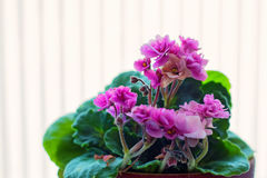 Flowerpot with violets. Close-up image of flowerpot with beautiful housplant violets royalty free stock photos