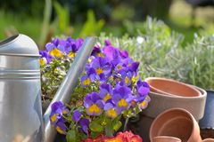 Flowerpot and watering can in garden. Close on blossom flowerpot and watering can in garden with watering can royalty free stock image