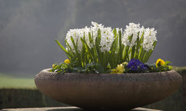 Flowerpot with white hyacinths. In the park Stock Photo