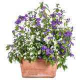 Flowerpot with white and purple solanum royalty free stock photography