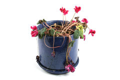Flowerpot of wilted flowers Royalty Free Stock Photos