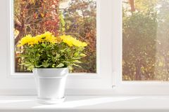 Flowerpot with yellow chrysanthemum on window sill Stock Images