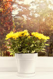 Flowerpot with yellow chrysanthemum on window sill Royalty Free Stock Photography