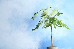 Flowerpot with young fig tree on color background. Space for text royalty free stock photography