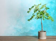 Flowerpot with young fig tree on table against color background. Space for text stock image