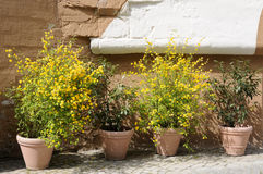 Flowerpots. Four flowerpots with varied plants - Kerria japonica Pleniflora, Prunus laurocerasus Stock Photos