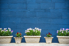 Flowerpots and blue striped texture wall Royalty Free Stock Photography