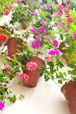Flowerpots and colorful flower on a white wall with copy space f Royalty Free Stock Photo