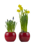 Flowerpots with flourishing grape hyacinth and daffodils Stock Image