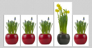 Flowerpots with flourishing grape hyacinth and daffodils Royalty Free Stock Photography