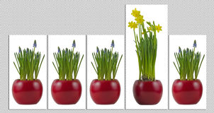 Flowerpots with flourishing grape hyacinth and daffodils Stock Photos