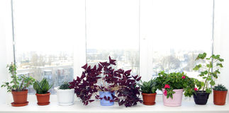 Flowerpots in pots on a window sill Royalty Free Stock Photography