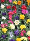 Flowerpots and Primroses just blossomed Royalty Free Stock Photos