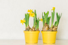 Flowerpots with yellow daffodils Stock Photo