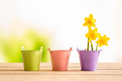 Flowerpots with yellow daffodils Stock Photos