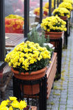 Flowerpots with yellow flowers Stock Photos