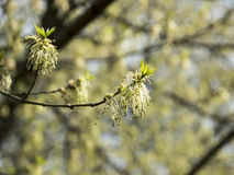 Flowerred tree the Fraxinus. New flowerred trees in the park in spring Royalty Free Stock Image