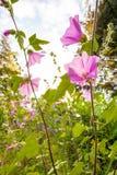 Flowerrs rosa della malvarosa Fotografie Stock
