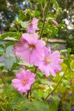 Flowerrs roses de rose trémière Images stock
