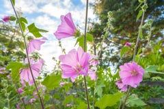 Flowerrs roses de rose trémière Photographie stock libre de droits