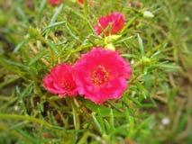 FlowersAreRed& x22; sång som är skriftlig och är en sjungas Royaltyfria Bilder
