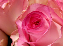 Flowers 1. Red rose macro background royalty free stock photo