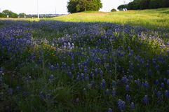 Flowers. Texas wild bluebonnet meadow Royalty Free Stock Photography