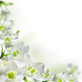 Flowers. White flowers isolated over white