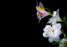 Flowers. Isolated on black background Stock Images