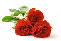 Scarlet rose. On a white background Stock Image