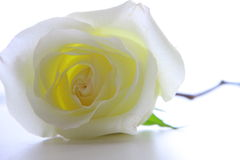 Flowers. The white rose lies on a table Royalty Free Stock Images