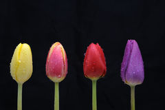 Flowers. Row of different colored tulip flowers covered with dew or water drops, isolated on black background Royalty Free Stock Image