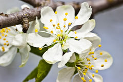 Flowers. White flowers on the tree Royalty Free Stock Photo