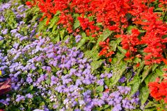 Flowers. Red and lilac flowers on a bed Stock Image