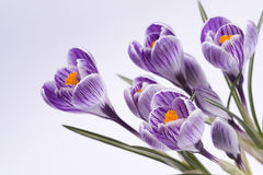 Flowers. Family of flowers, striped crocus on white background stock photo