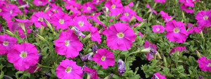 Flowers. The bed with pink petunias, a part of colors magnificently blossoms, and the some people have already dried up stock photography