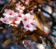 Flowers. Some beautiful flowers of a cherry-tree stock photo
