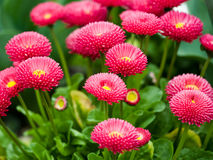 Flowers. A photo of many red daysies (��llis, ��r�nnis Stock Photos