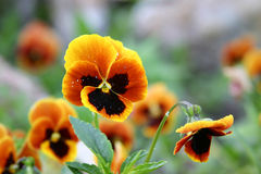 Flowers. Yellow Orange Pansy Stock Photos