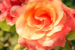 Pink Orange Garden Rose in Sunshine. In the garden a pinkish orange rose shines in the sun. Perfect for wallpaper or banner with extra space for text and headers stock images